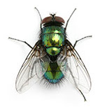 Pest treatment - house fly